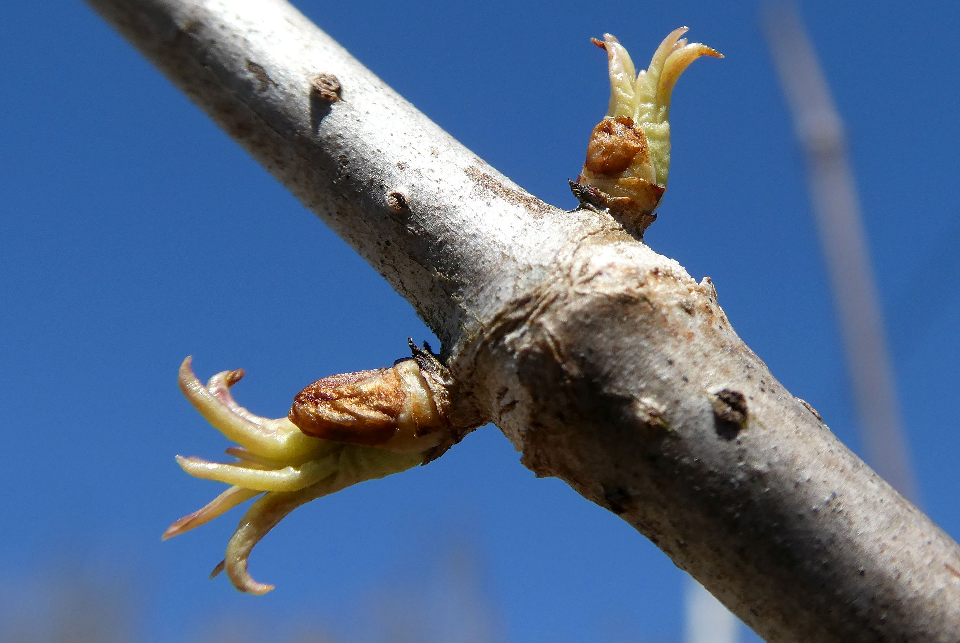 8 elder breaking leaf buds
