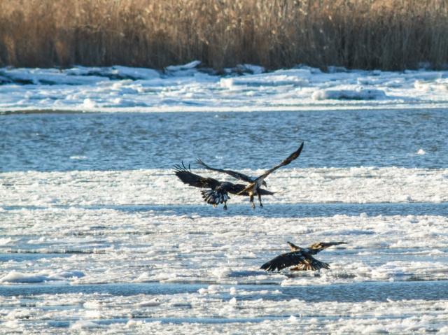 Immature Bald Eagles on an ice floe