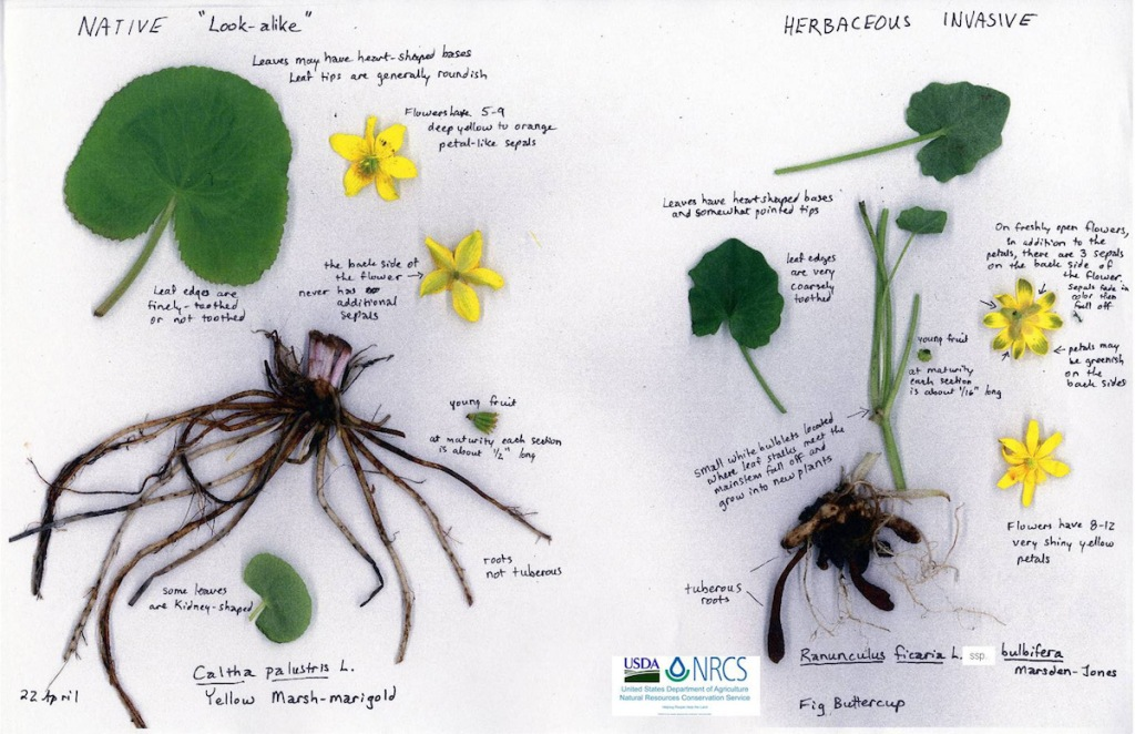 a collage of different plant parts depict the differences between two species that resemble one another