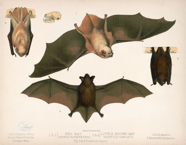 1874 North American Bat Image
