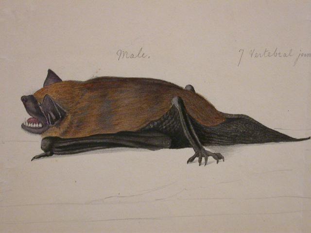 J.J. Audubon's bat image