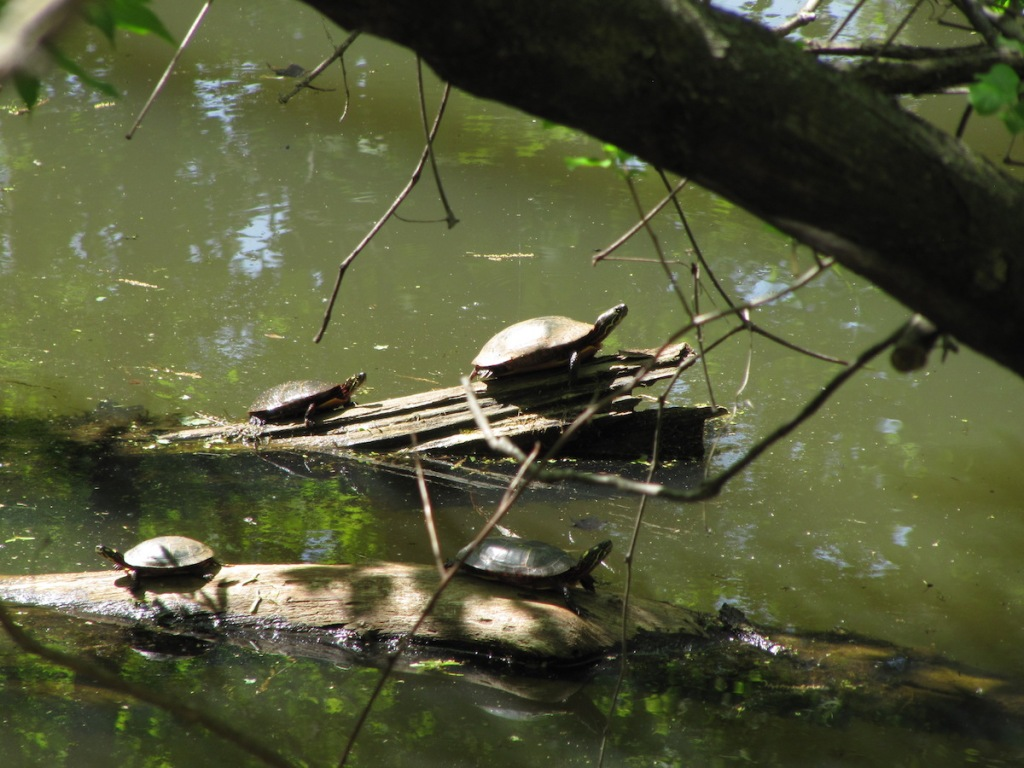 four turtles on two logs