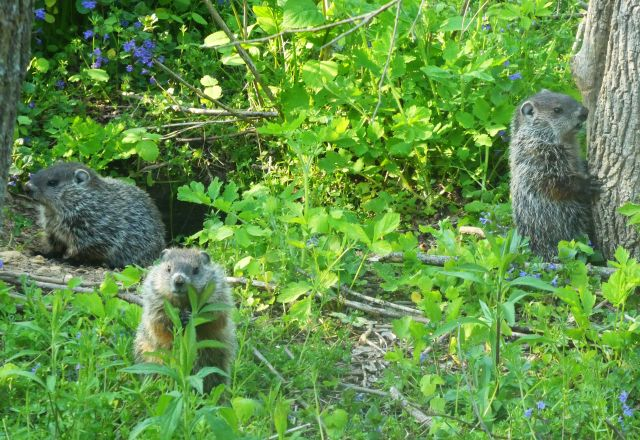 Young groundhogs