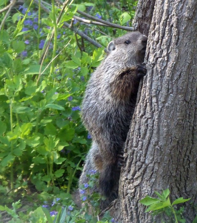 Groundhog climbing tree