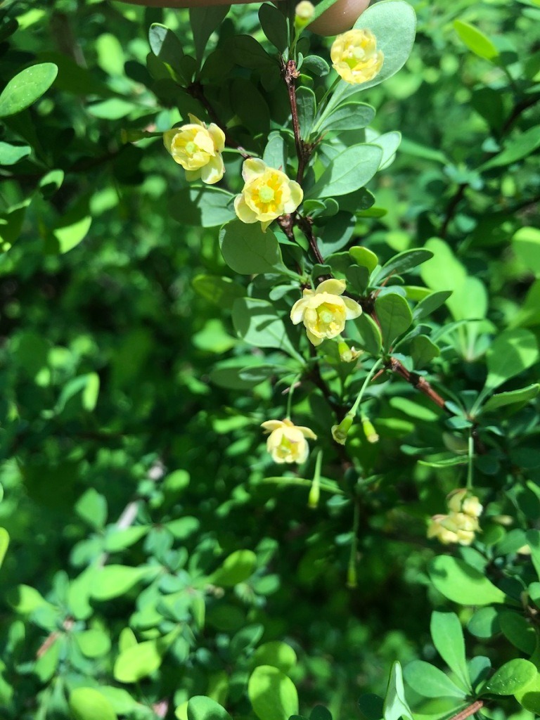 small yellow flowers next to green oval leaves