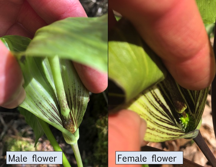 male and female Jack-in-the-Pulpit flowers