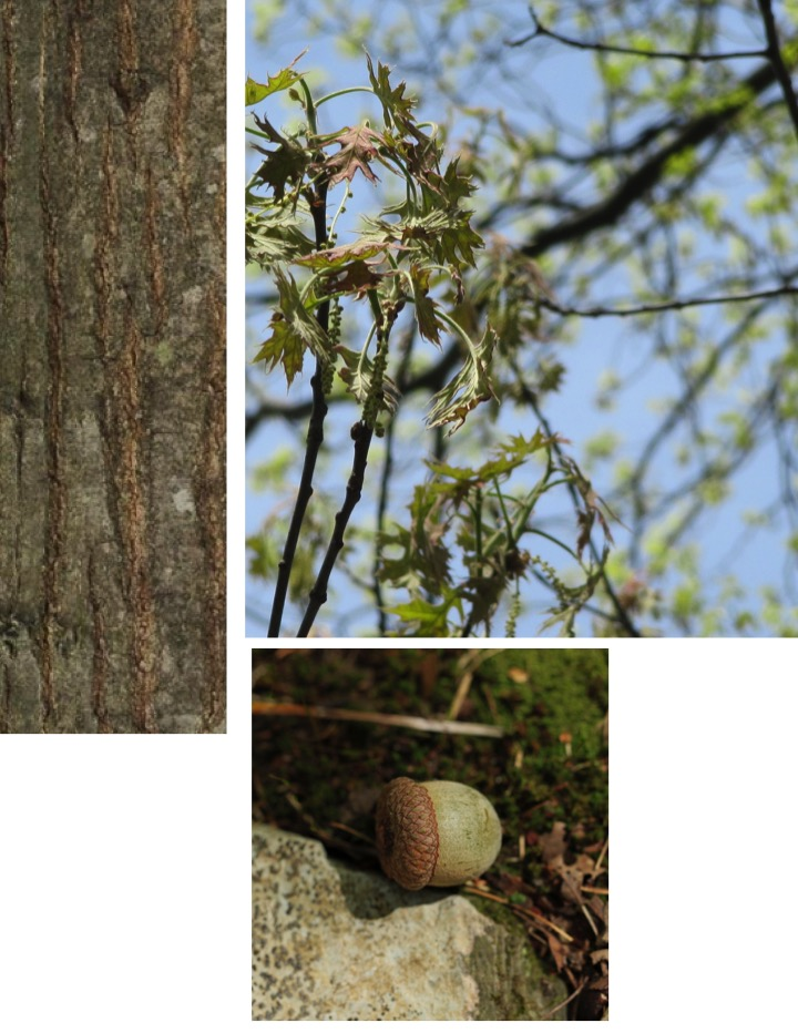 photo collage of different parts of red oak