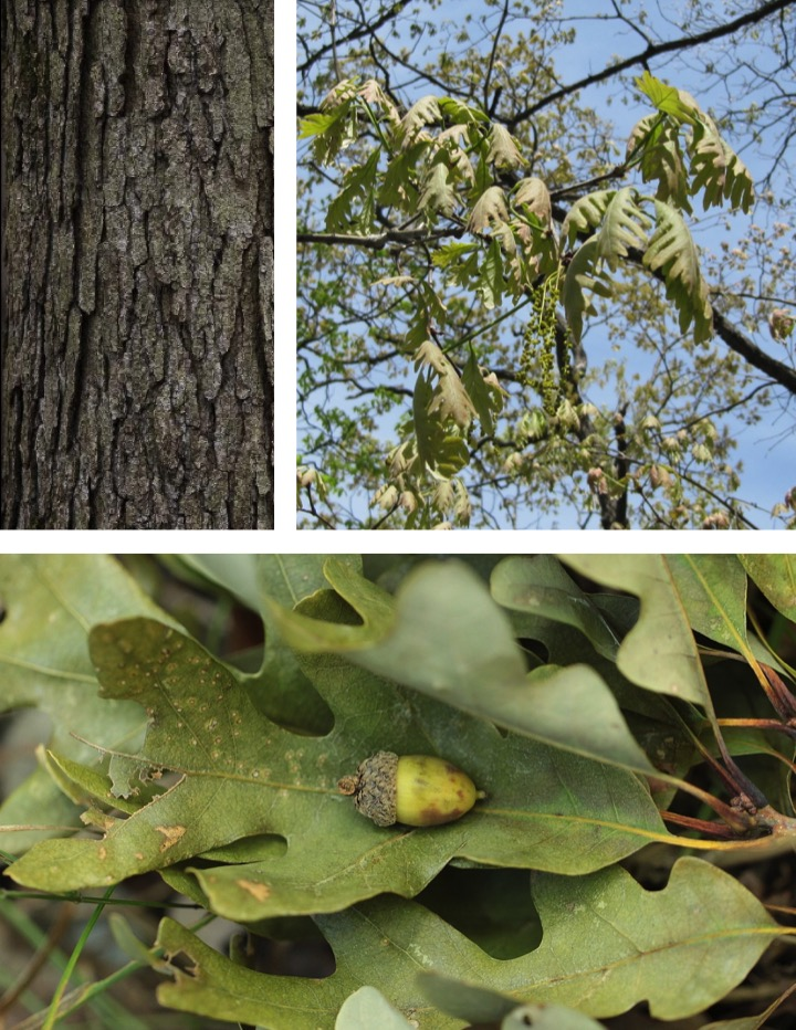 photo collage of parts of white oak