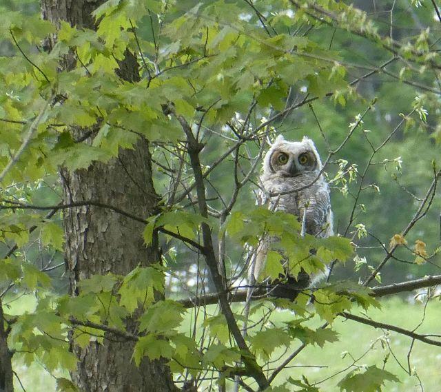 Fledging owl