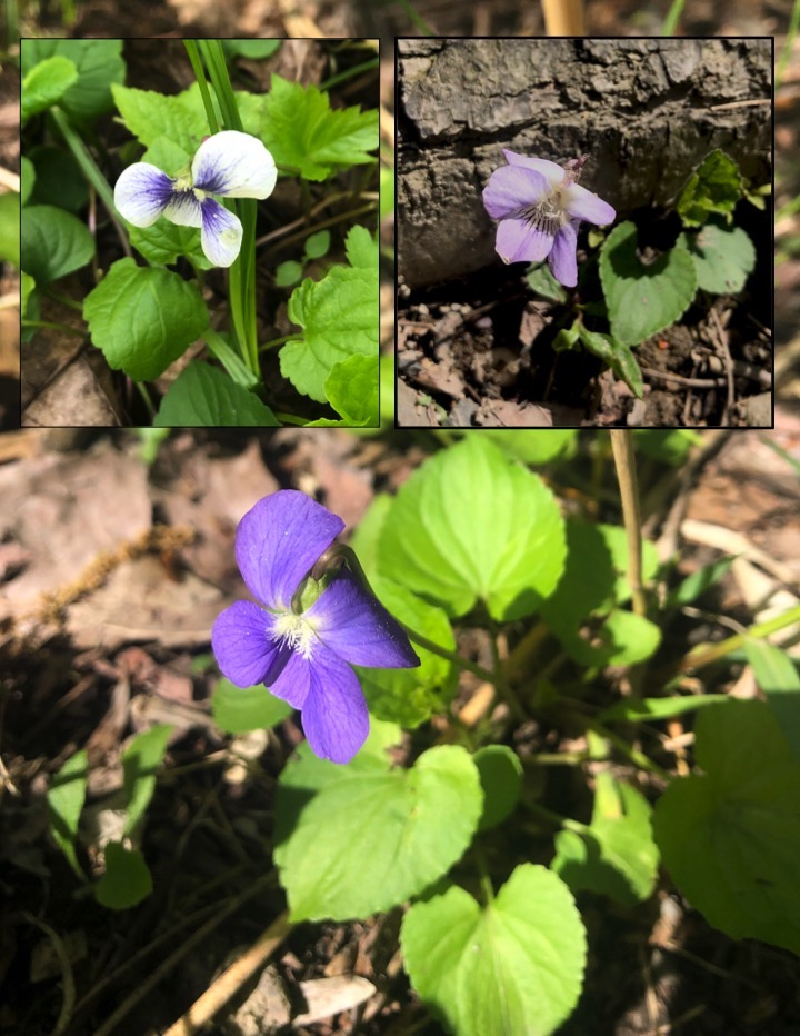 collage of different colors of violets  ranging from purple to white