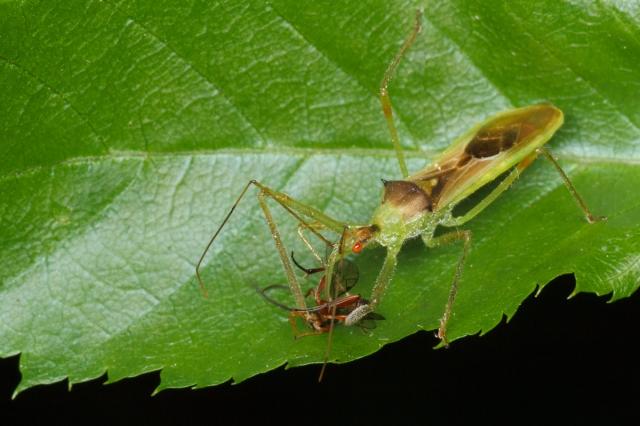 Assassin bug eating ichneumon wasp